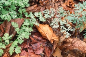 Dicentra cucullaria, left, and D. canadensis, right