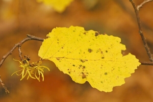 Hamamelis virginiana leaf, flower