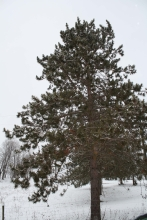 red pine tree shape