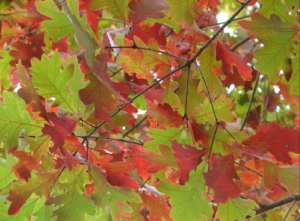 Quercus alba leaves in fall