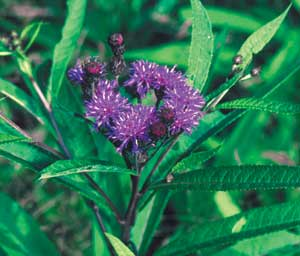 NY ironweed flower and leaf