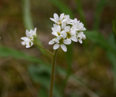 early saxifrage flower closeup