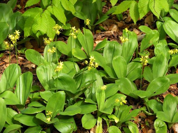 Bluebead lily in bloom. Often found as single plant, but clusters in the right conditions.