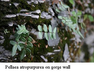 Pellaea atropurpurea on gorge wall